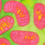 Качеством митохондрий можно управлять связывая железо в клетках