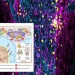 Иммунная система следит за мозгом извне и она доступнее, чем считалось